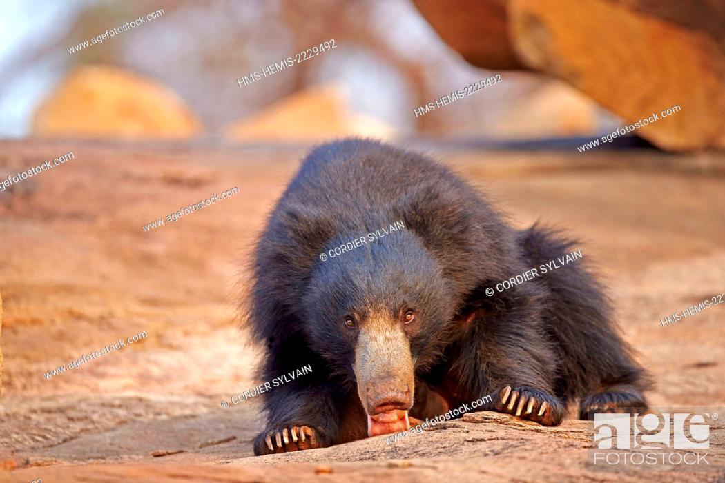Stock Photo: Asia, India, Karnataka, Sandur Mountain Range, Sloth bear (Melursus ursinus),.