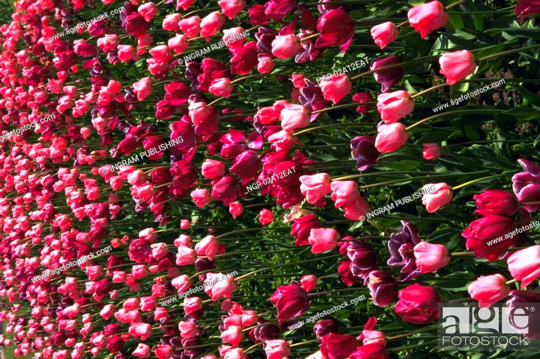 Stock Photo: Close-up of a meadow of tulips.