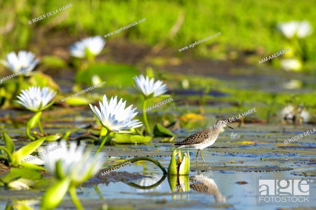 Stock Photo: Wood Sandpiper (Tringa ochropus) in wetland with Blue Water Lilies (Nymphaea caerulea) . Northern Tuli Game Reserve. Botswana.
