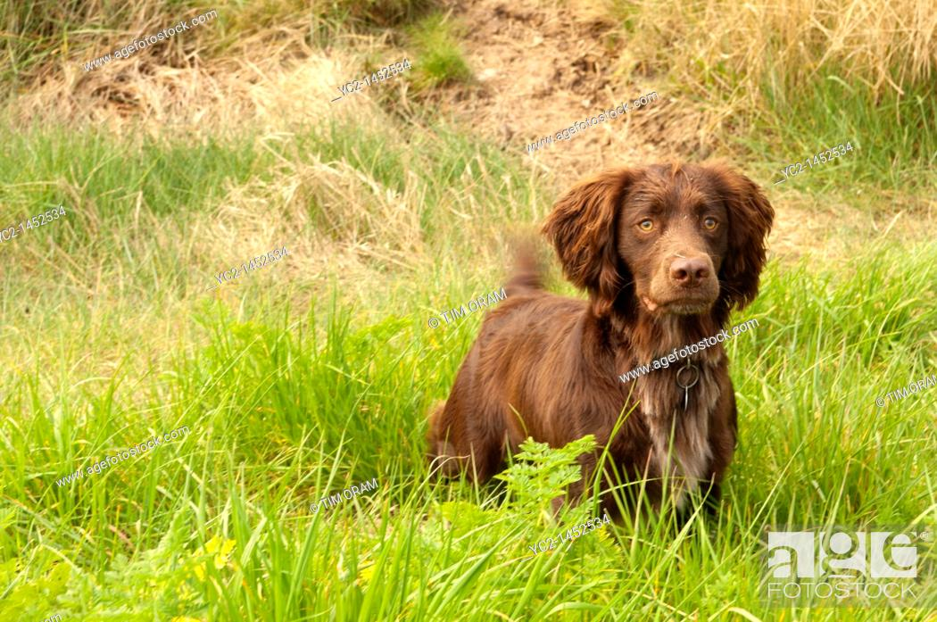 Stock Photo: A brown Sprocker Spaniel  Springer spaniel crossed with a Cocker spaniel  in the Uk.