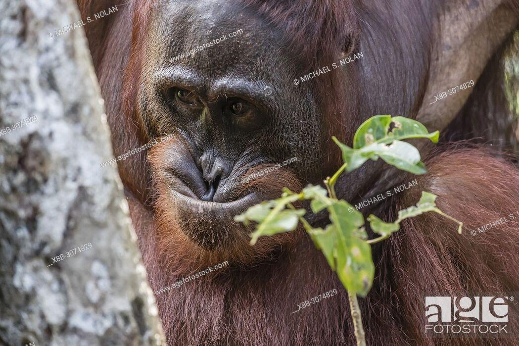 Stock Photo: Male Bornean orangutan, Pongo pygmaeus, Tanjung Puting National Park, Borneo, Indonesia.