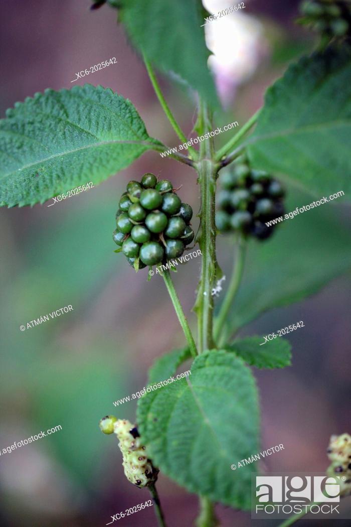 Stock Photo: closeup of blackberry bush.