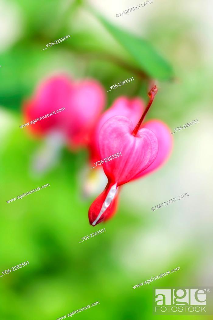 Stock Photo: Bleeding Heart flowers (Dicentra spectabilis) macro shot.