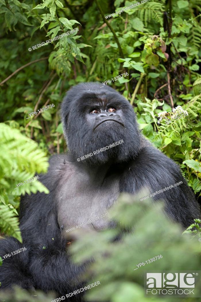 Stock Photo: Mountain Gorilla, Gorilla beringei beringei, silverback sitting in vegetation, Volcanoes National Park, Rwanda.