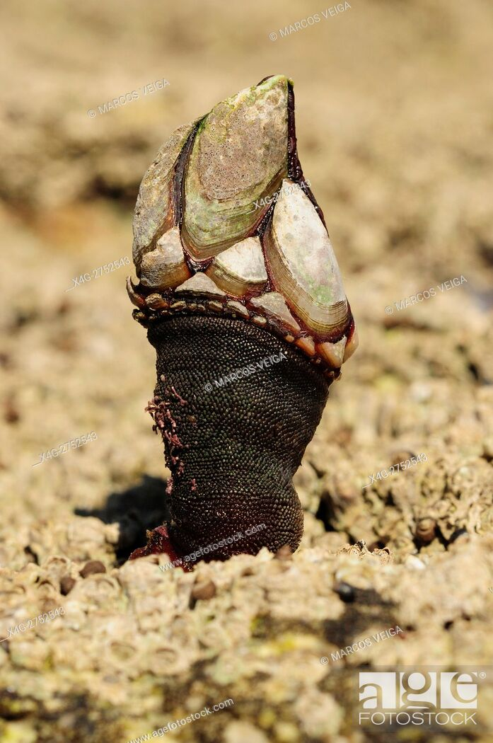 Stock Photo: Goose barnacle (Pollicipes pollicipes).