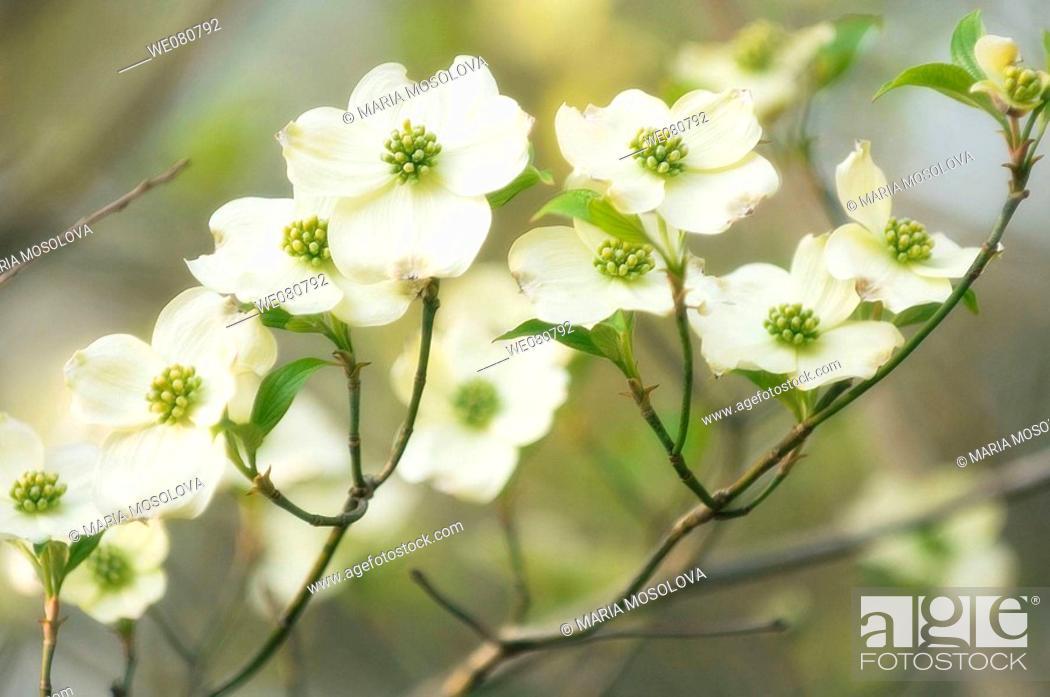 Stock Photo: White Dogwood Blossom. Cornus florida. March 2007. Maryland, USA.
