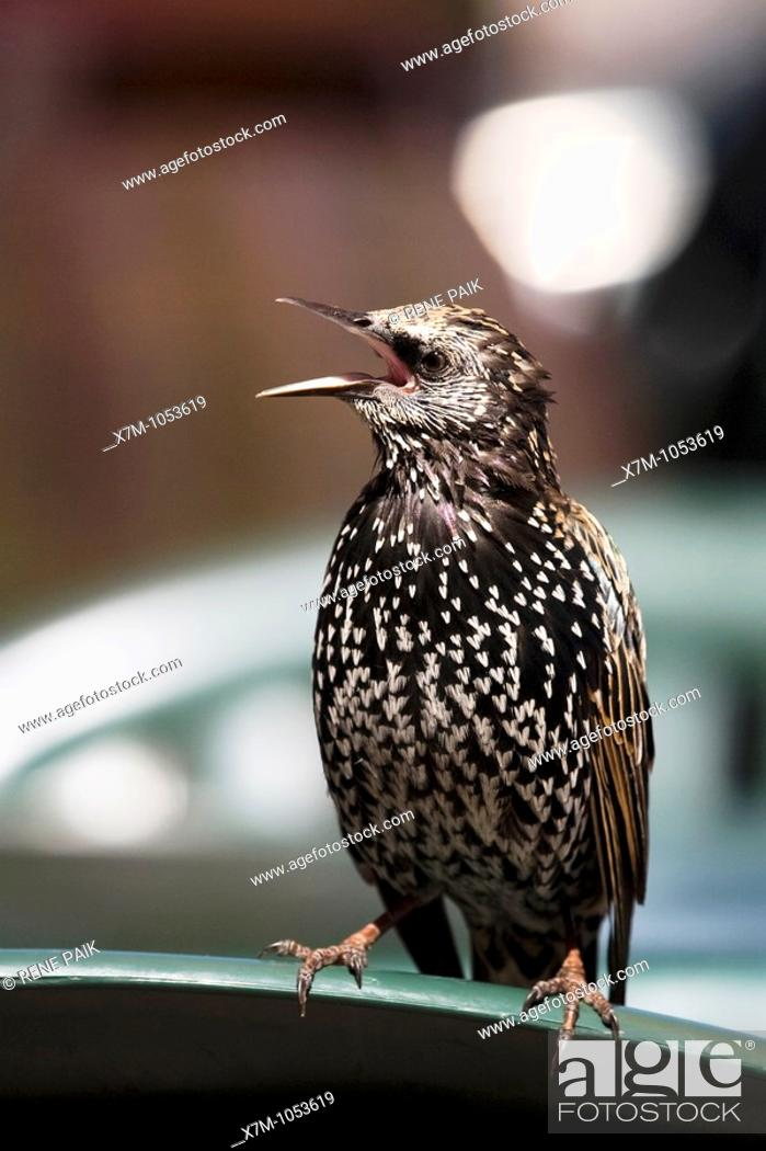 Stock Photo: A European Starling singing while perched on a chair at an outdoor restaurant on the Santa Cruz Beach Boardwalk.