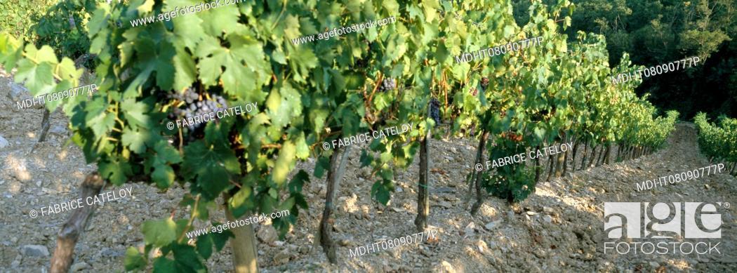 Imagen: Italy - Tuscany - Chianti - Vineyards in Chianti.