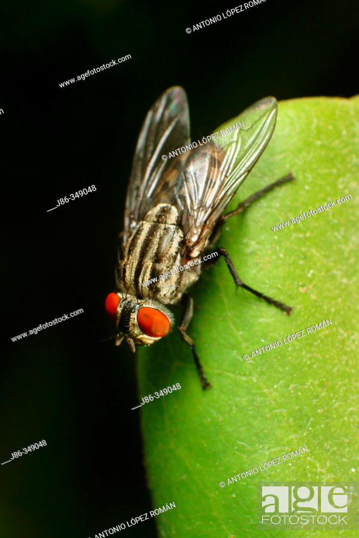 Stock Photo: Flesh fly (Sarcophaga carnaria).