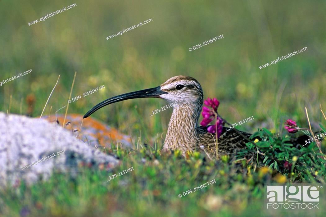 Stock Photo: Whimbrel (Numenius phaeopus) Incubating in nesting habitat, Churchill, Manitoba, Canada.