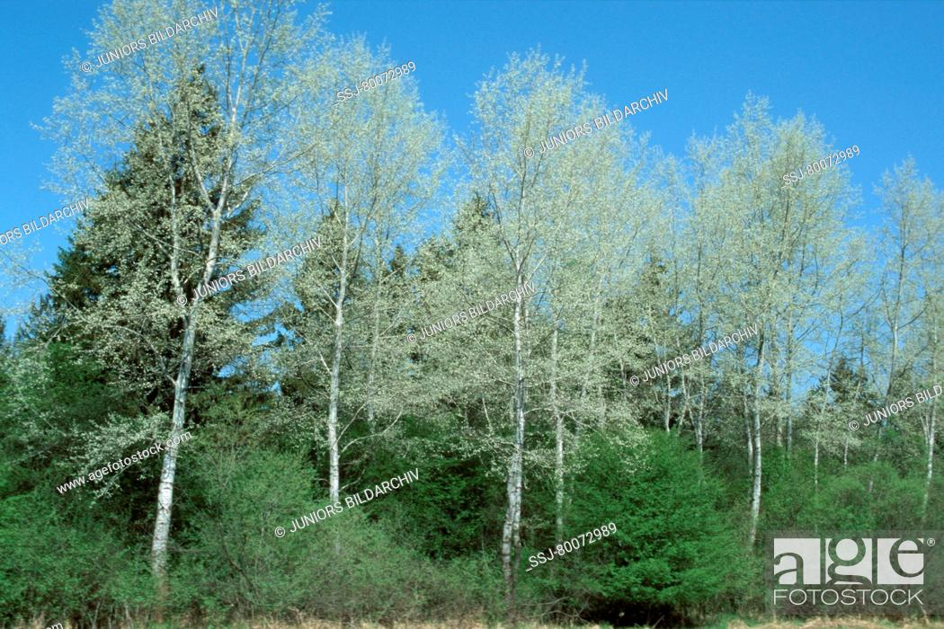 Stock Photo: DEU, 2002: White Poplar (Populus alba), trees standing in a line.