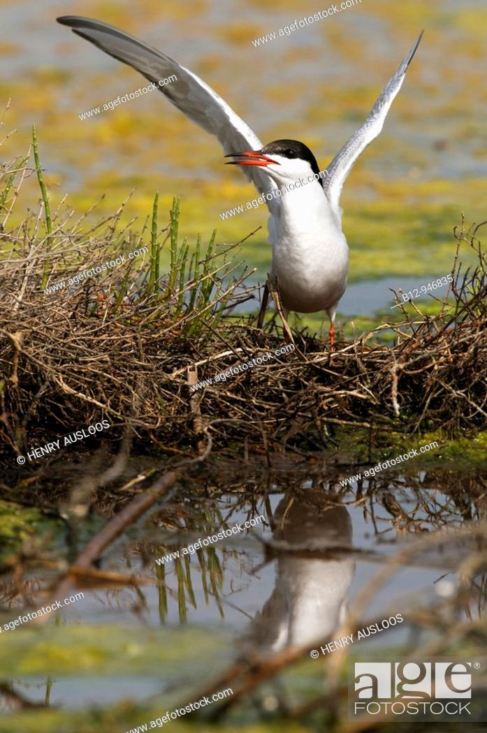 Stock Photo: Common Tern (Sterna hirundo).