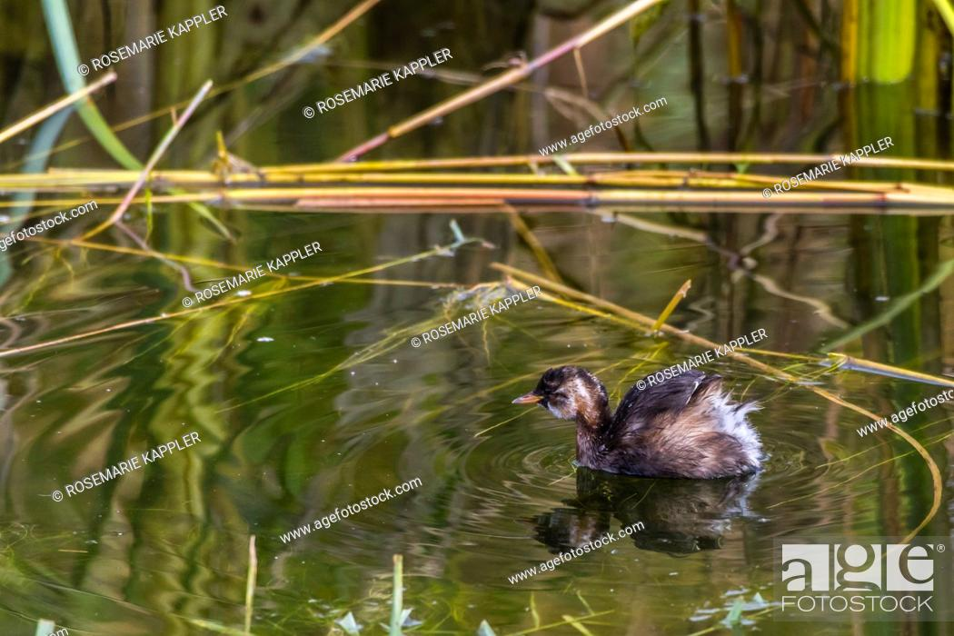 Stock Photo: germany, saarland, homburg - A dabchick on a pond is searching for fodder.