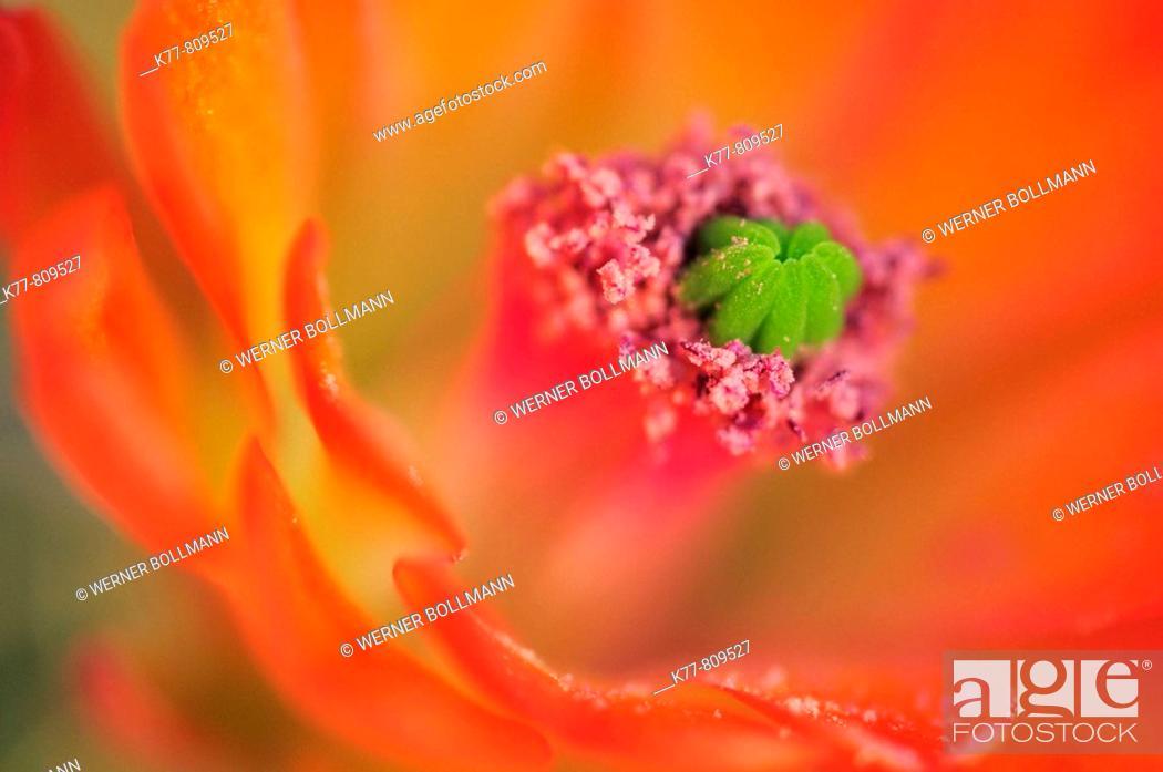 Stock Photo: Mojave Hedgehog (Echinocereus mojavensis), Flower-Detail. Joshua Tree N.P., California, USA.