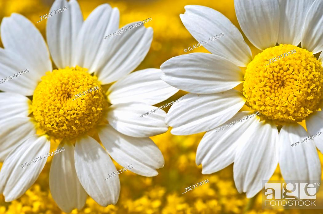 Stock Photo: Two feverfew blossoms.