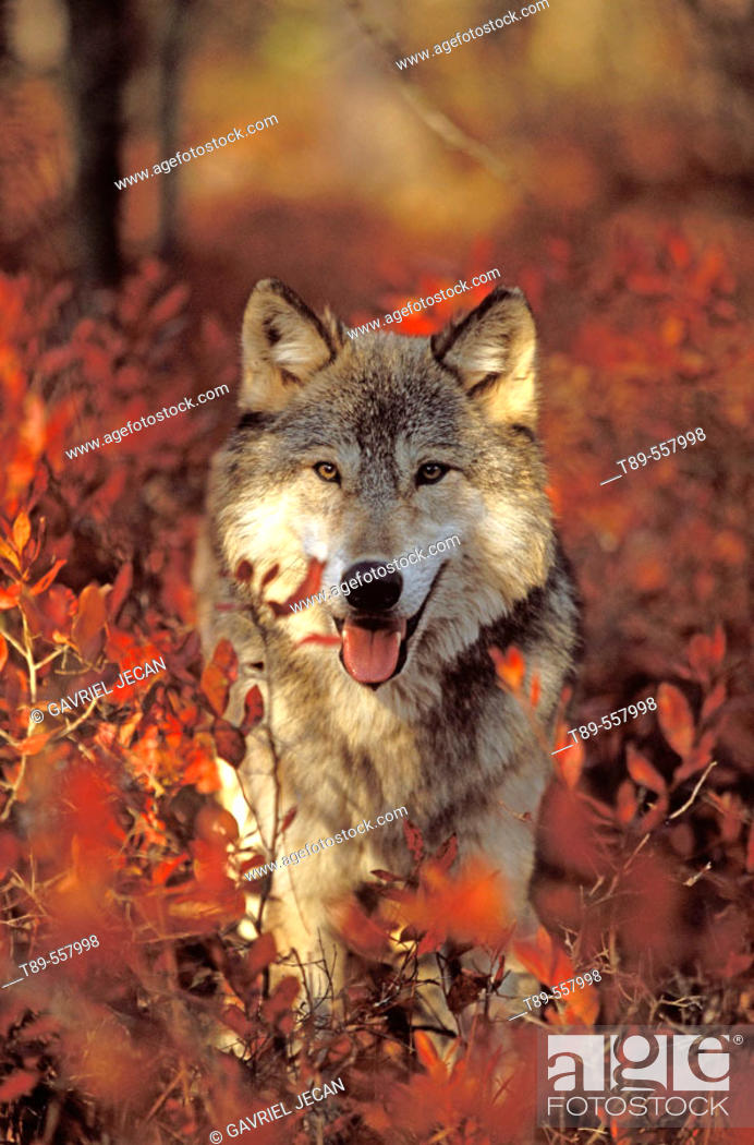 Stock Photo: USA, Minnesota, Northern Woods, A Gray Wolf (Canus lupus) running along a trail forest in Autumn.
