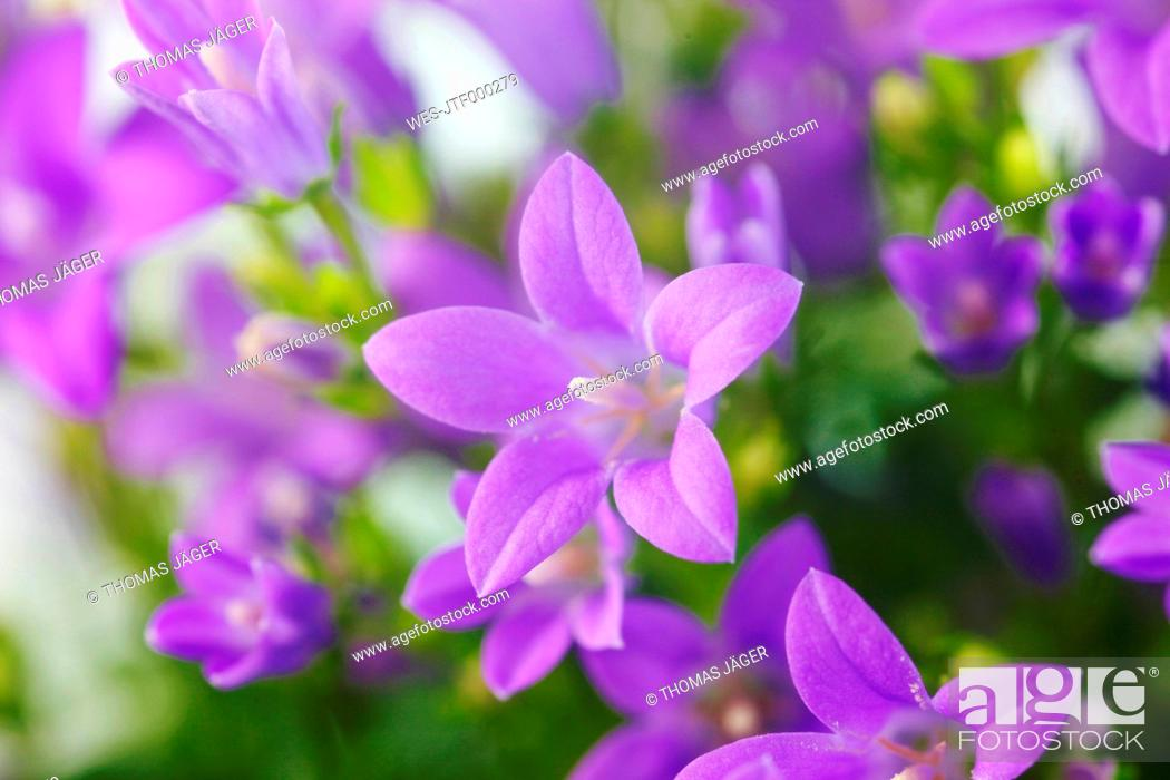Stock Photo: Germany, Blue bellflowers, close up.