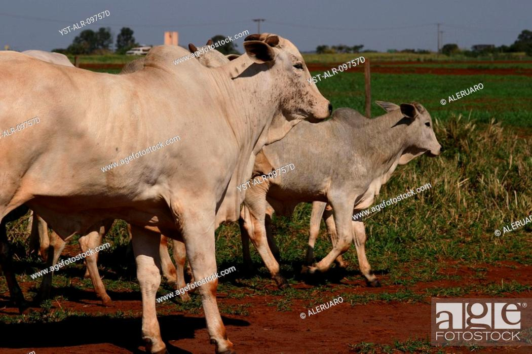 Foto de stock - Cattle 55e9bf7d2c343