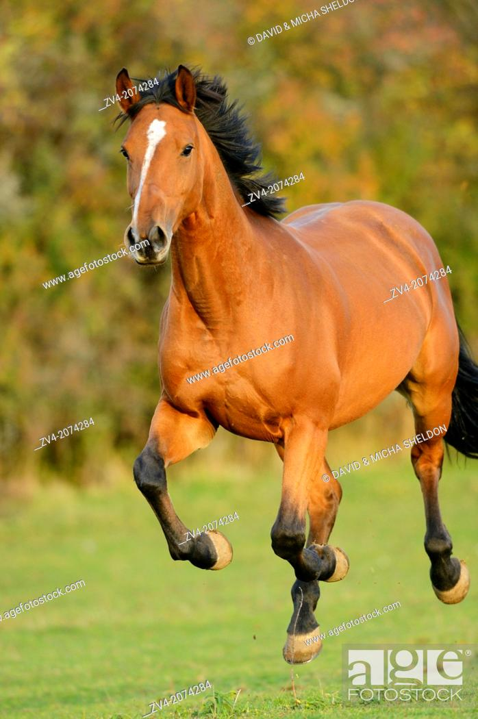 Stock Photo: Close-up of a Bavarian Warmblood horse on a meadow in autumn, Bavaria, Germany.