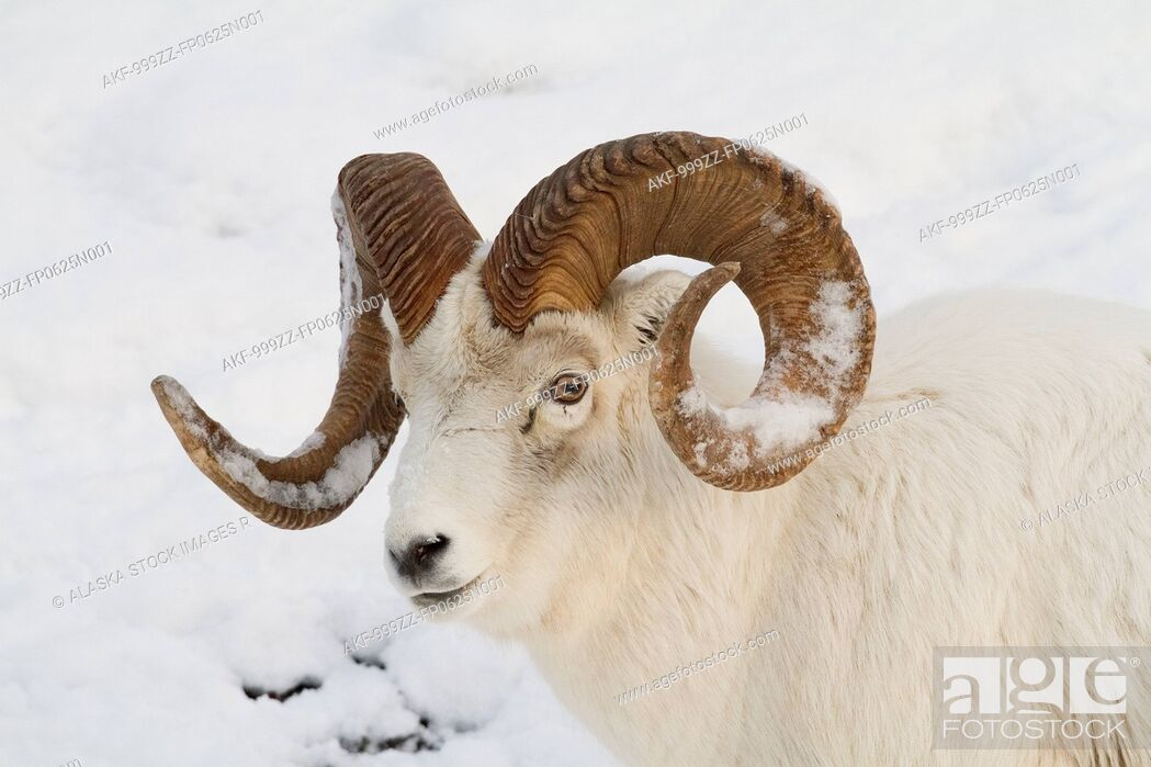 Stock Photo: A full-curl Dall sheep ram with snow on its horns roams thru the deep snow of the Chugach mountains, Southcentral Alaska, Winter.