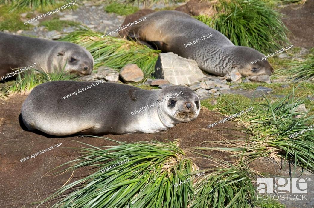 Stock Photo: Fur seals, Moltke Harbour, Royal Bay, South Georgia, South Atlantic.
