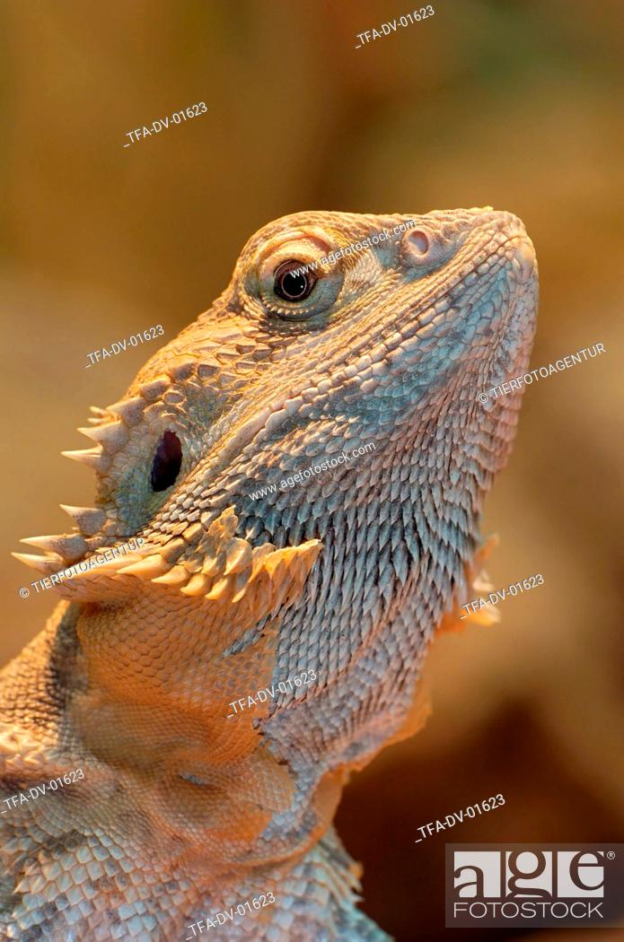 bearded dragon, Stock Photo, Picture And Rights Managed