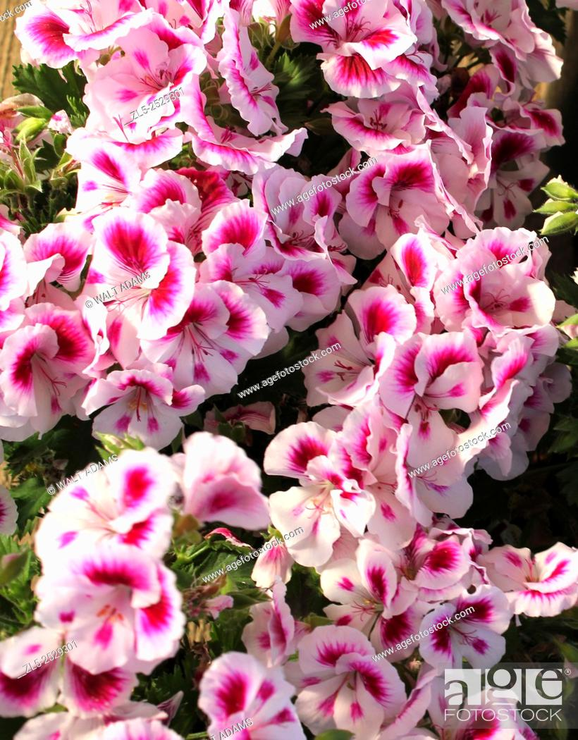Stock Photo: A beautiful assortment of coral pink and white Pansies on display in a greenhouse.