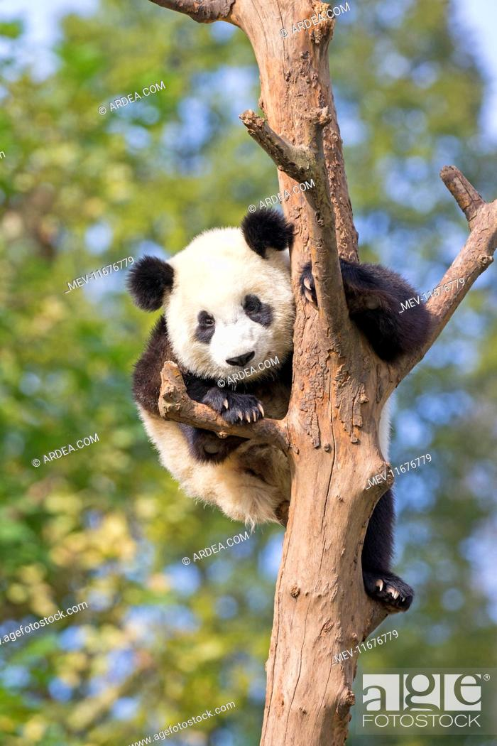 Stock Photo: Giant Panda in tree controlled conditions.