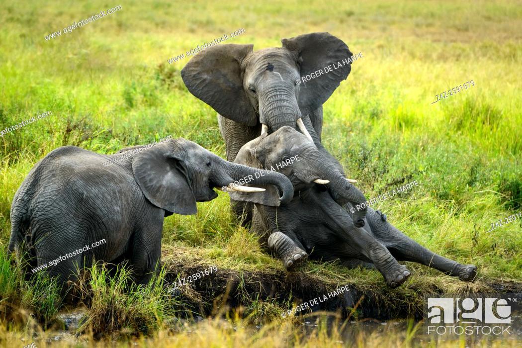 Stock Photo: African bush elephant (Loxodonta africana) interacting. Serengeti National Park. Tanzania.