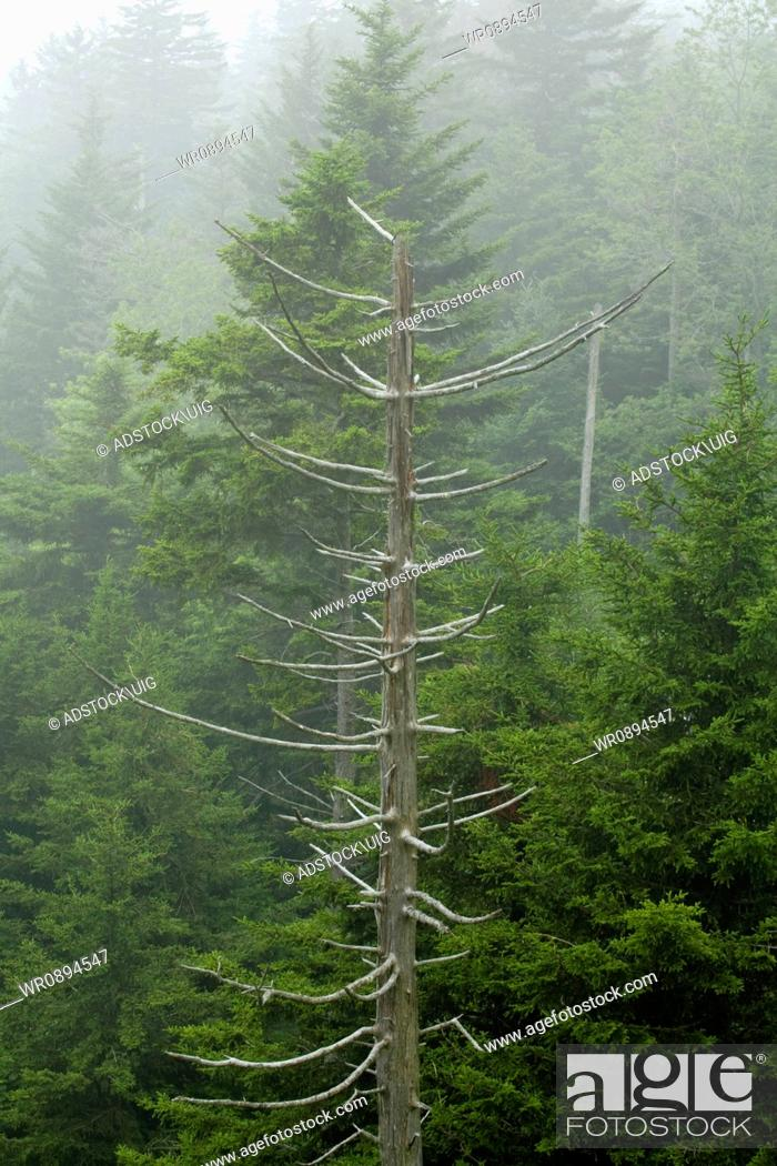 Stock Photo: Dead & Dying Trees, Blue Ridge Parkway, Late Summer, NC.
