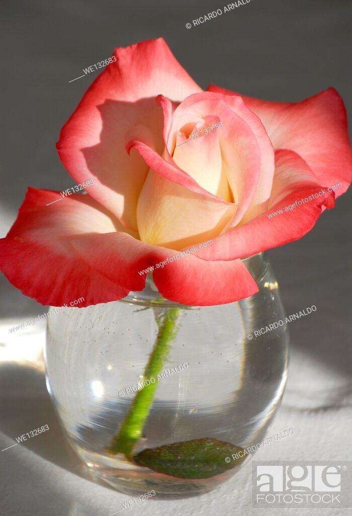 Imagen: Variegated Rose in Vase.