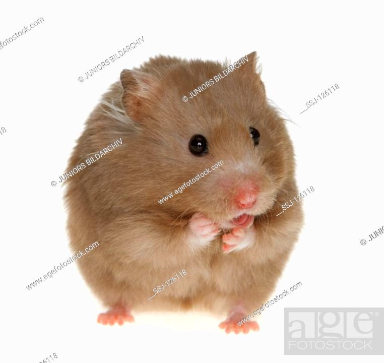 golden hamster - cut out, Stock Photo, Picture And Rights