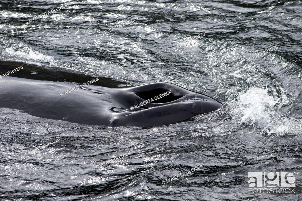 Stock Photo: Humpback whale (Megaptera novaeangliae), northern British Columbia, Canada.