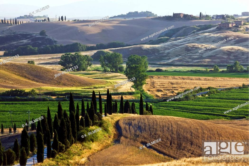 Stock Photo: Italian cypress (Cupressus sempervirens), Landscape near d'Arbia, Italy, Tuscany.