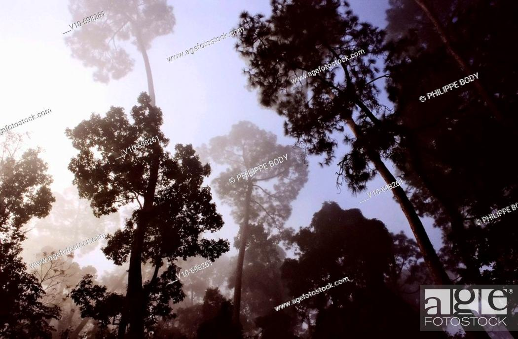 Stock Photo: Trees in a morning mist, Nepal.
