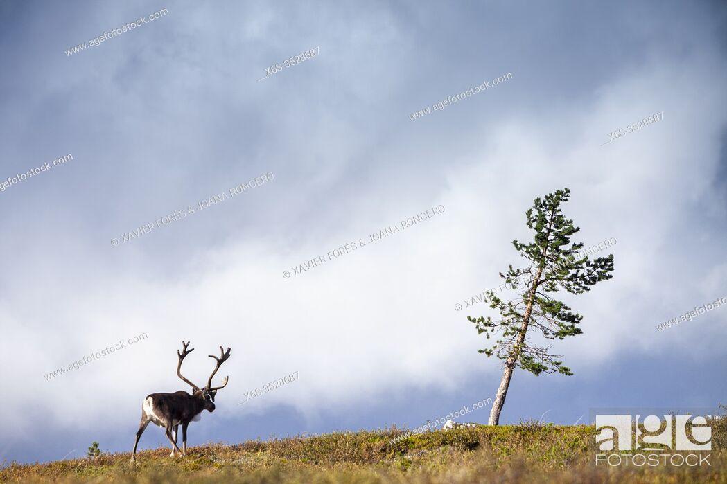 Imagen: Reindeer (Rangifer tarandus), National Park of Pallas-Yllästunturi, Lapland, Finland.