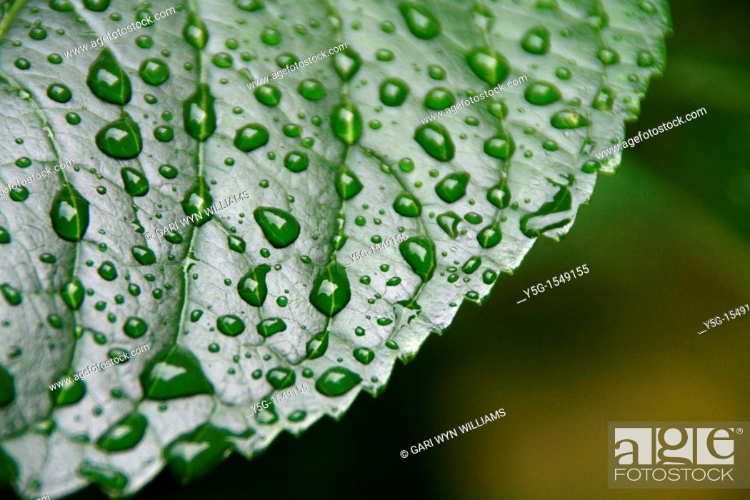 Stock Photo: hydrangea close up detail rain water drops on green leaf plant in garden.