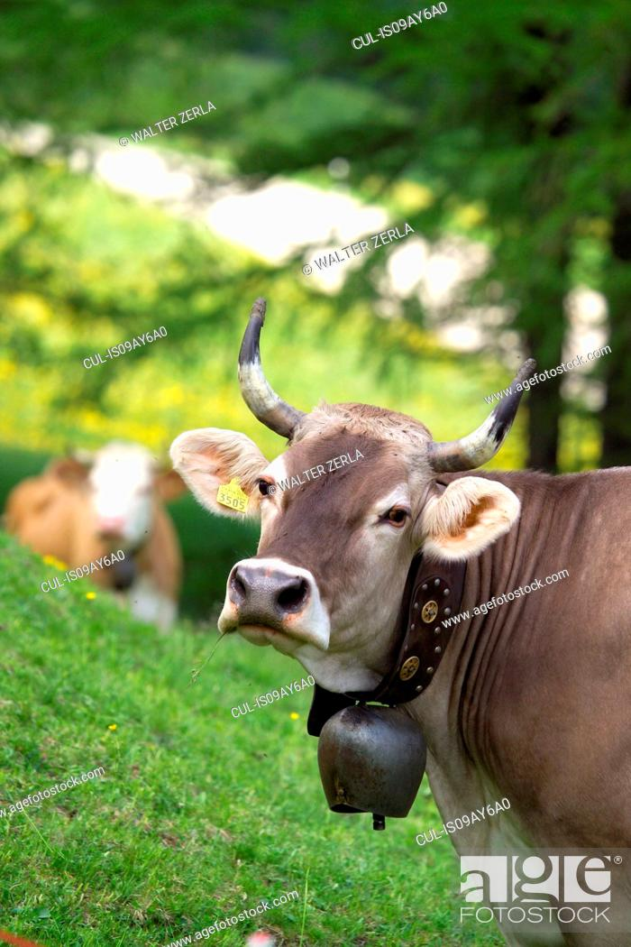 Stock Photo: Portrait of cow wearing cow bell looking at camera, Swiss Alps, Switzerland.