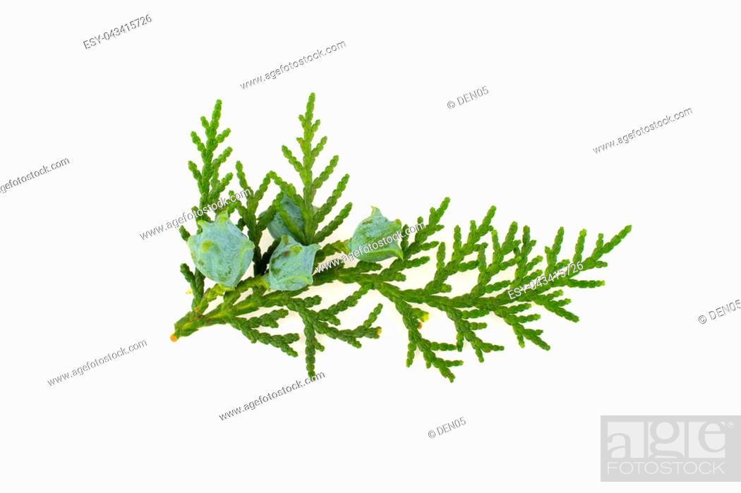 Stock Photo: Twig of thuja on white background.