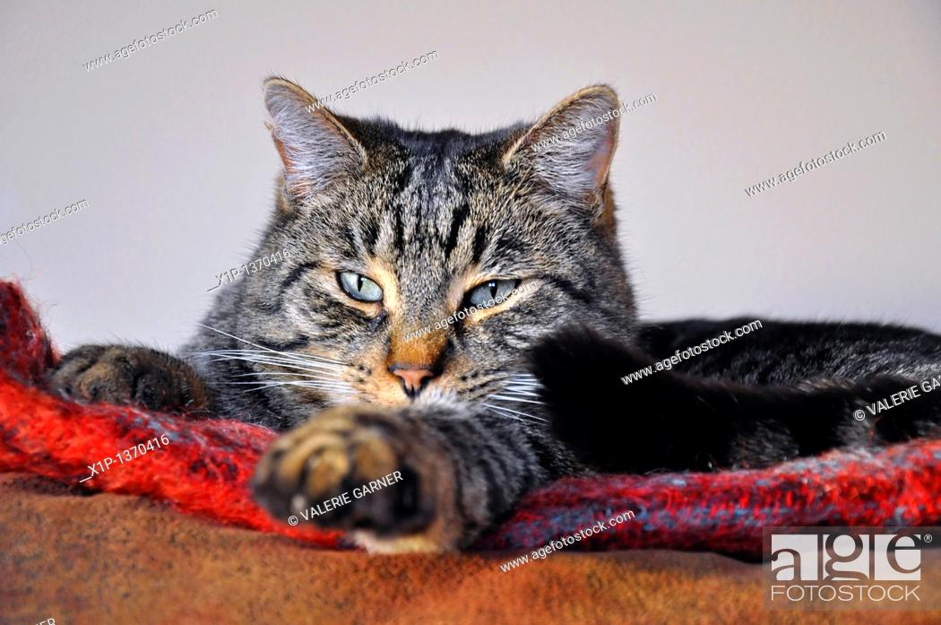 Stock Photo: This cute striped tabby cat is sleepy and lying on a red blanket all cozied up indoors.
