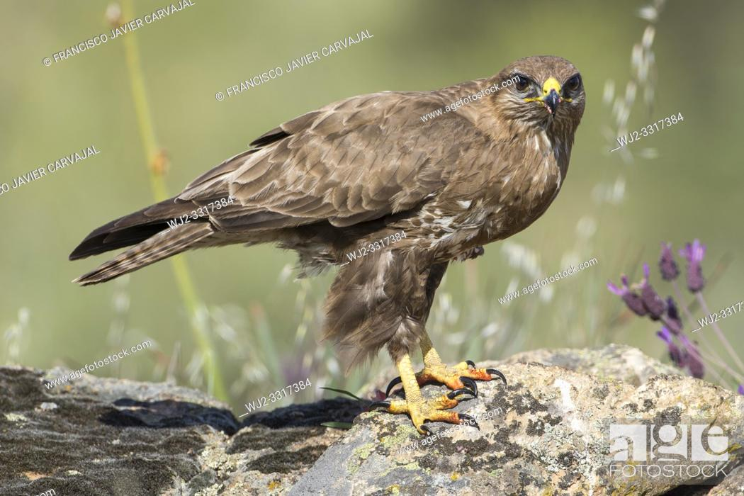 Stock Photo: Common buzzard (Buteo buteo) on the rocks in Extremadura, Spain.