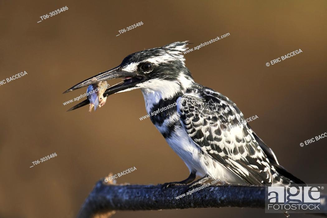 Imagen: Pied kingfisher (Ceryle rudis) perched on a branch with fish prey. Baringo lake. Kenya, Africa.