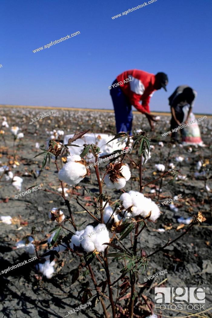 Stock Photo: botswana, Worker in a cotton field near Nata.