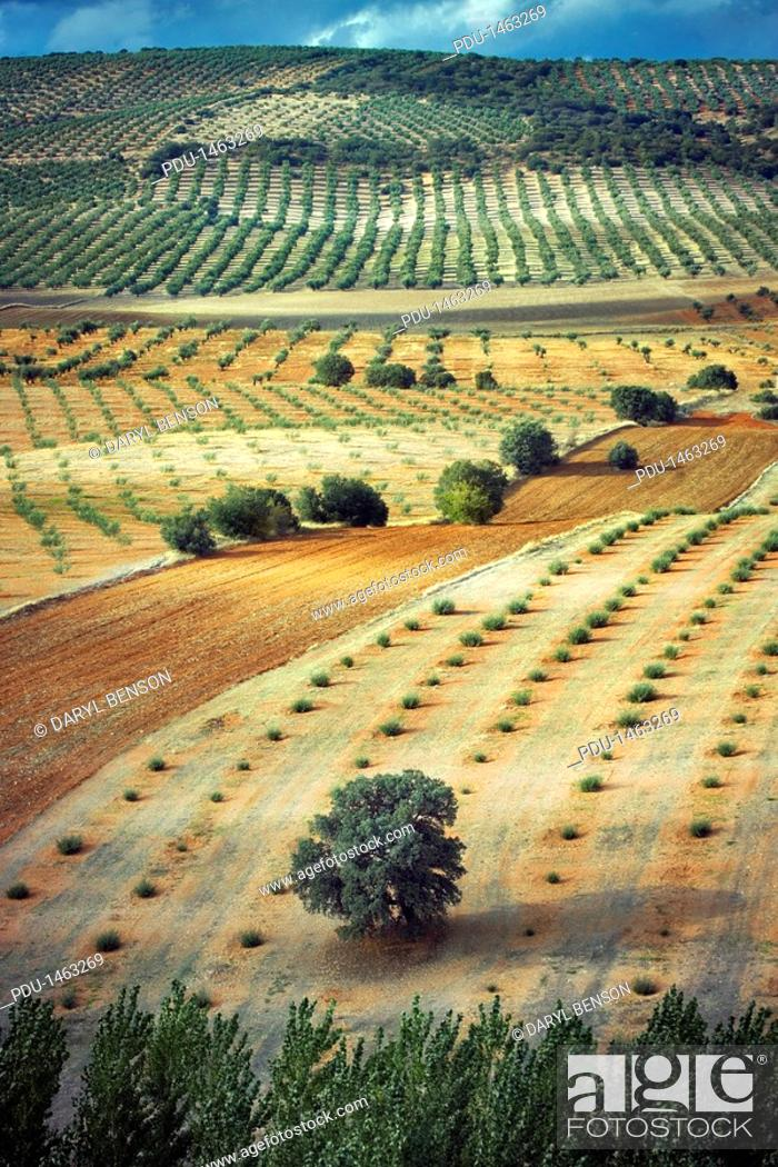 Stock Photo: Spain, Andalusia, olive orchards.