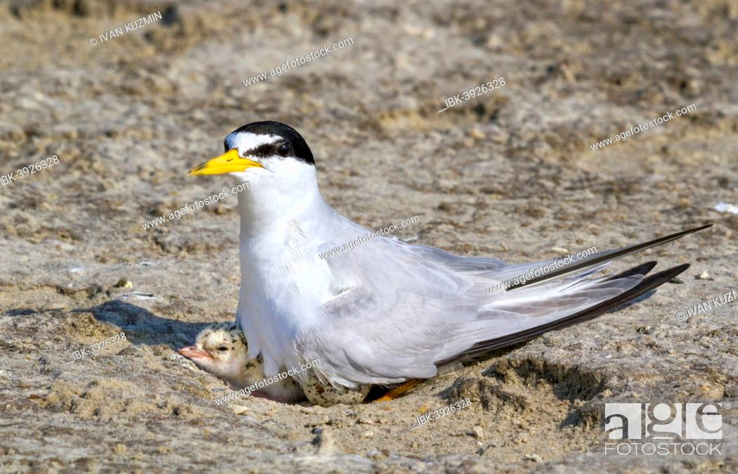 Stock Photo: Least Tern (Sterna antillarum) with chick in nest, Texas, USA.