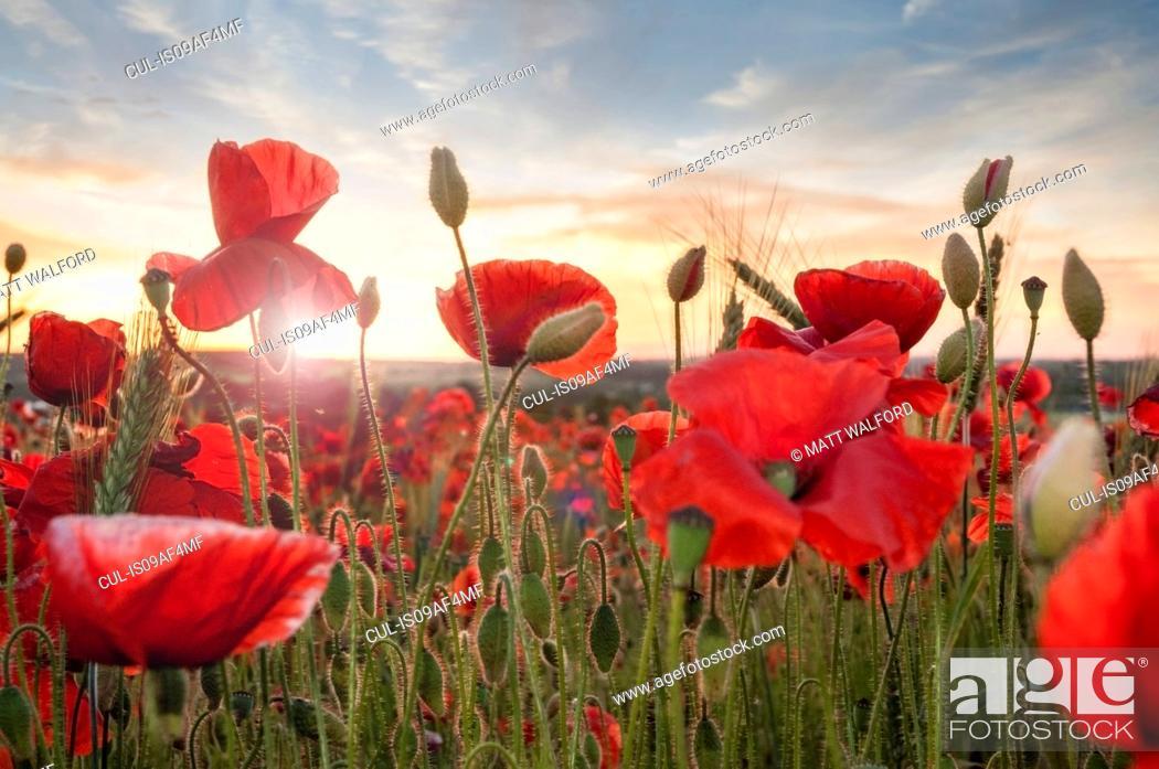 Stock Photo: Poppy field at sunset.