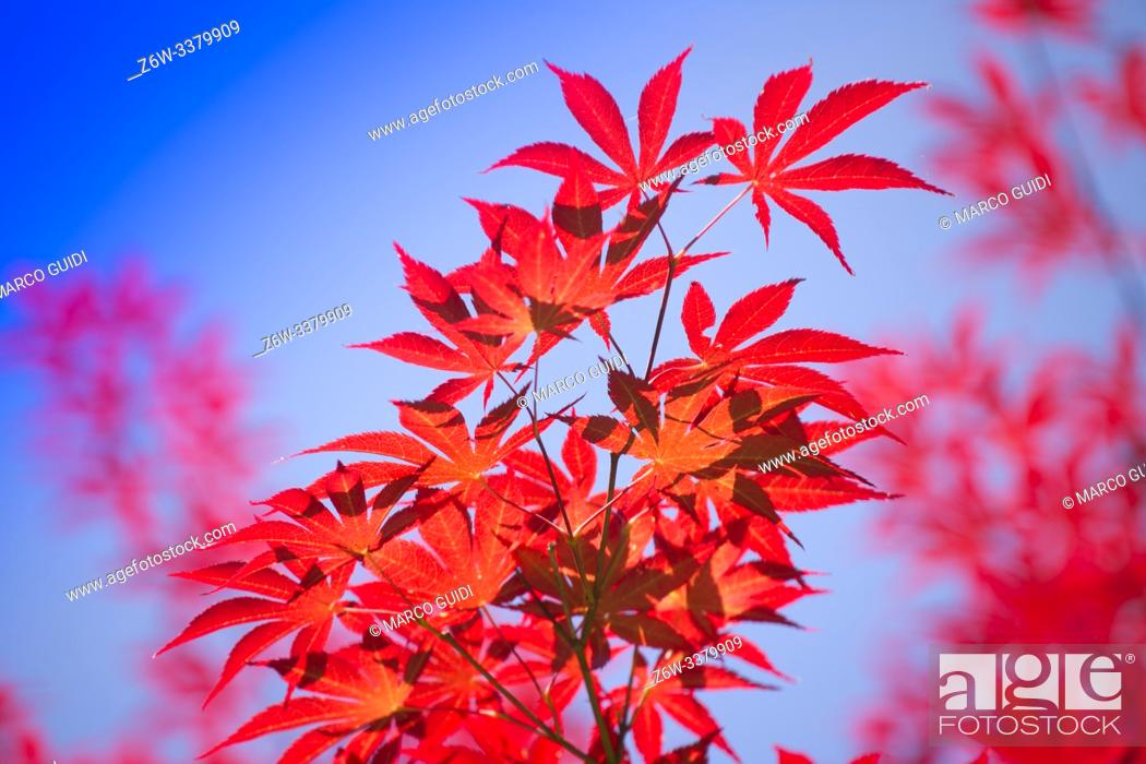 Stock Photo: The bright color of the red maple leaves flung against the blue sky.