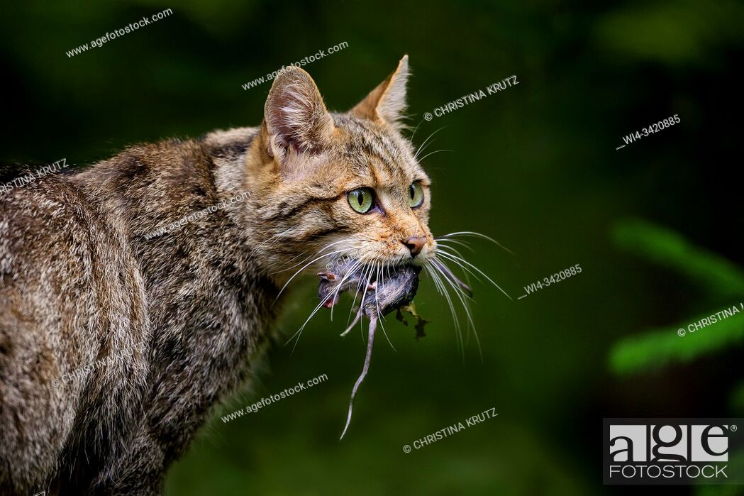Stock Photo: European wildcat (Felis silvestris silvestris) with rat, Bavarian Forest National Park, Bavaria, Germany.