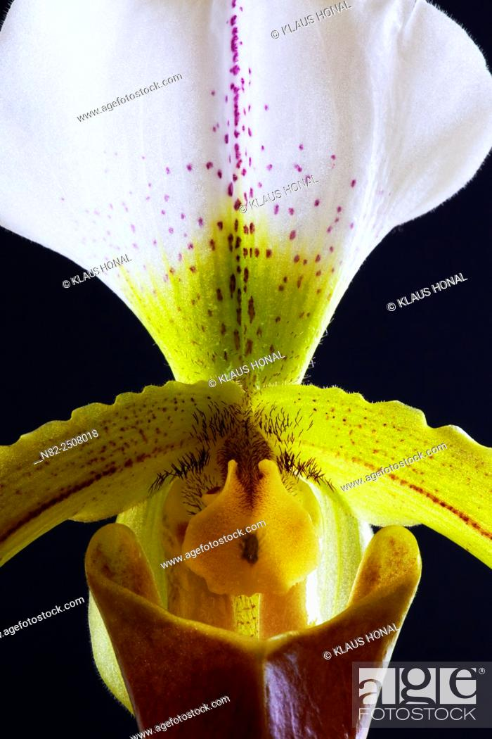 Stock Photo: Orchid Paphiopedilum leeanum is a hybrid between Paphiopedilum spicerianum × Paphiopedilum insigne - Germany.