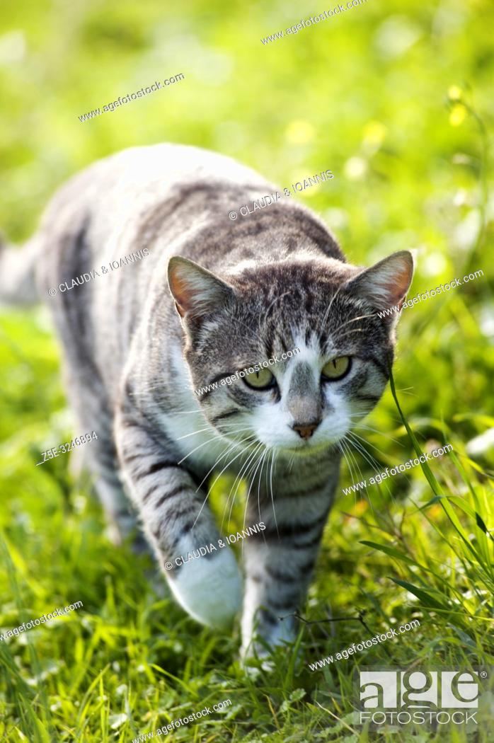 Imagen: Silver tabby cat walking in the grass towards camera.